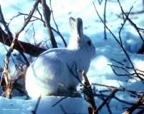 Miniature Lapin des neiges... dans la neige - humour-lapin.com
