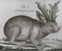 Dessin d'un Lepus cornutus de Robert Bénard (1734 - 1777)