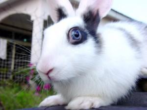 Lapin blanc à tâches noires et aux yeux bleus dans l'herbe
