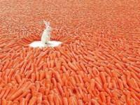 Lapin entouré de carottes - Auteur inconnu