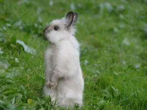 Lapin blanc-gris debout dans l'herbe