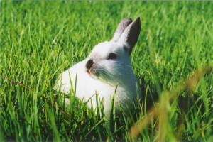 Lapin dans l'herbe