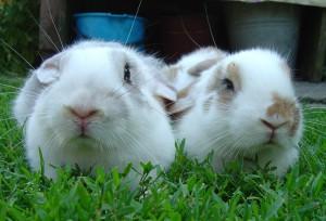 Fête de la musique souhaitée par deux lapins en gros plan