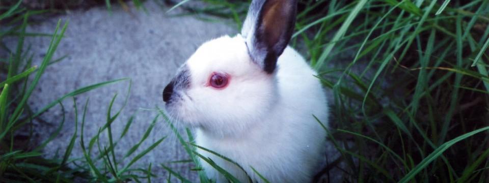 Un lapin chasse les cambrioleurs